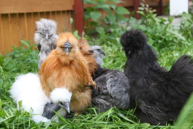 Фото В Кировской области выращивают китайских шёлковых кур