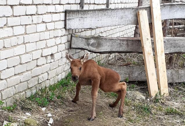 Фото В гостях у Киджина. Репортаж с лосефермы о жизни лосёнка, найденного в Кировской области