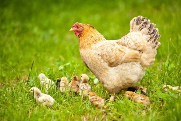 Фото В Коми женщина своровала у соседей курицу и цыплят