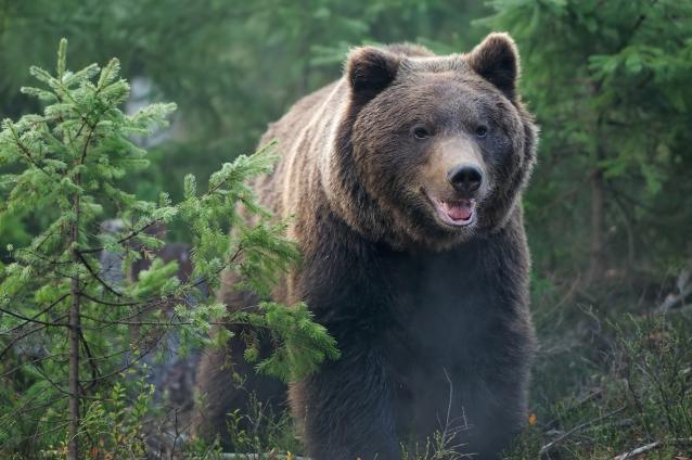 Фото В Шабалинском районе объявили карантин из-за медведя, заражённого опасным заболеванием