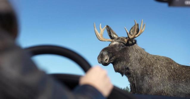 Фото В Кирове выбежавший на трассу лось чуть не спровоцировал ДТП