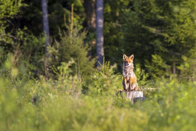 Фото 15 сентября в Кировской области открывается охота на зайцев и лисиц
