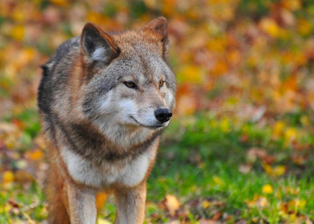 Фото В Троицко-Печорском районе волки выходят в села и нападают на домашних животных